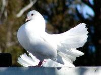 beliy-golub